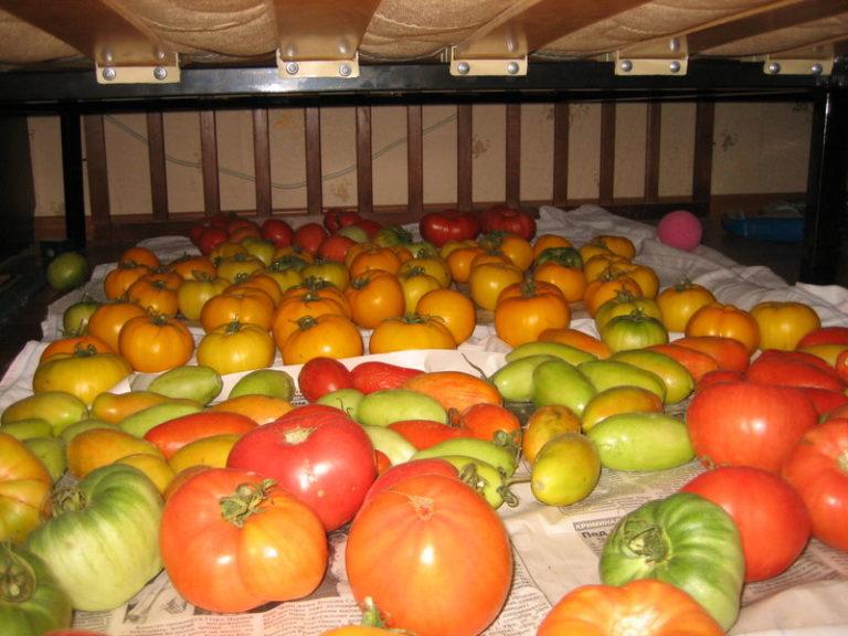 После сбора томаты помещают на дозревание