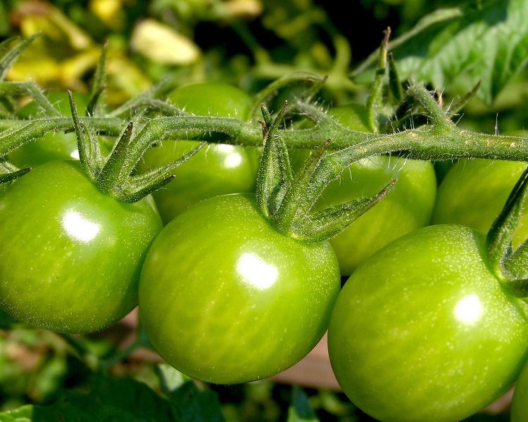 Собирать помидоры совсем зеленые без минимальных признаков покраснения не следует