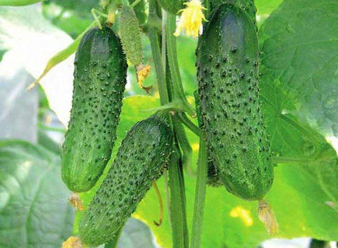 Родничок. Для тепличных условий такой сорт вряд ли подойдет, т.к. растение очень мощное и сильно разрастается, но его можно растить в теплице пленочного типа и использовать капельный полив