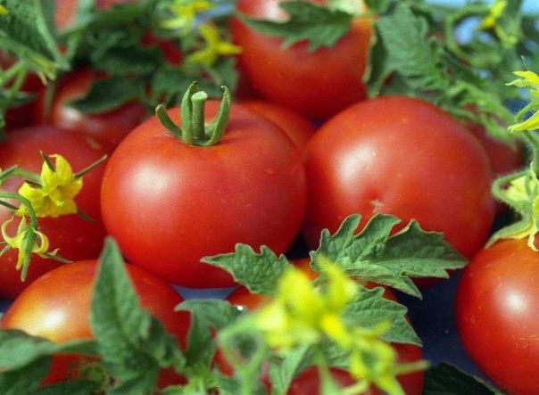 Плоды ярко-красного окраса и имеют форму шара
