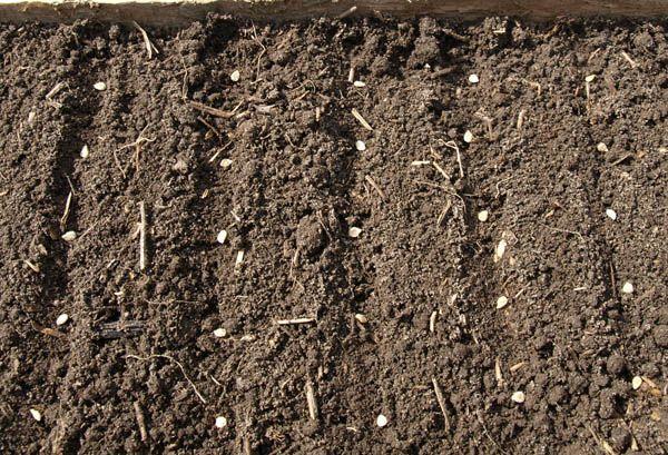 Безрассадный способ посадки заключается в посеве семян