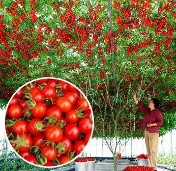 Спрут - это помидорное дерево, и технология его выращивания отличается от агротехники, которую применяют для классических сортов томатов