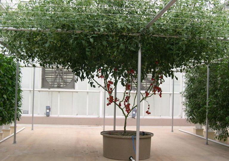 Большинство проблем выращивания помидоров вызваны неправильным поливом