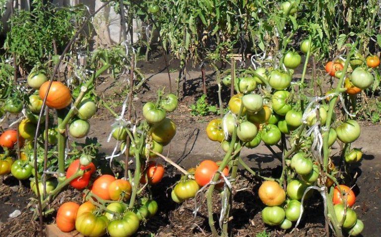 Сорт индетерминантный, высокорослый, наделен продолжительным сроком плодоношения