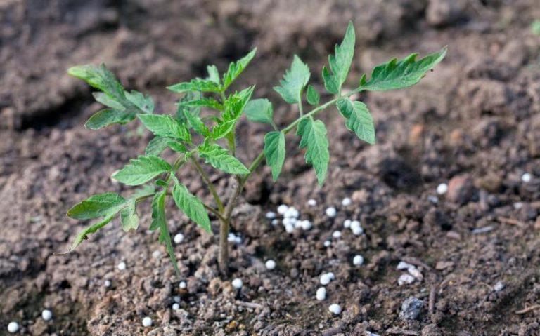 Подкормка томатов суперфосфатом применяется для повышения урожайности