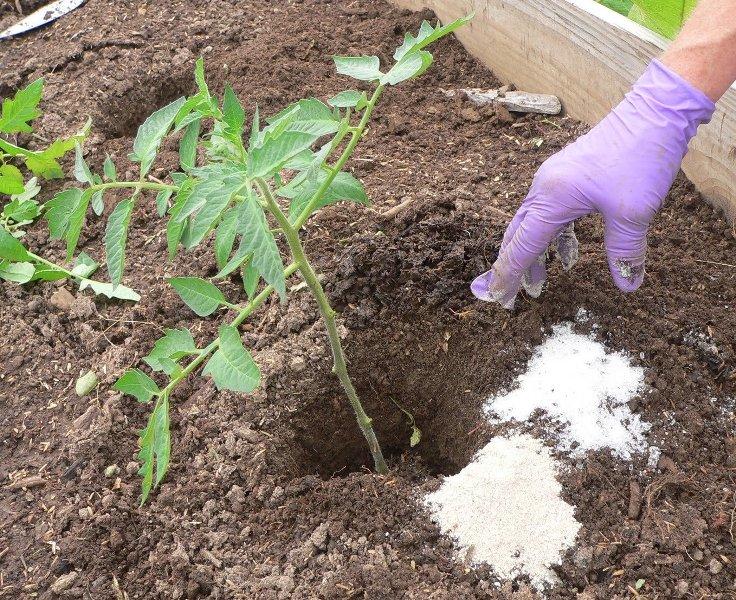 Сам по себе фосфор из-за своего химического состава очень тяжело растворяется в воде. Но при этом именно в жидком состоянии он лучше всего удобряет корневую систему томатов