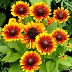 Гайлардия – яркий неповторимый цветок