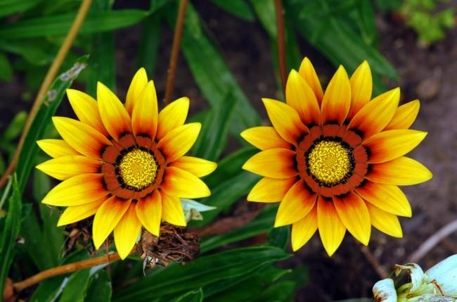 Цветение гацании приходится на летний период и наступает примерно через три-четыре месяца после высева семян