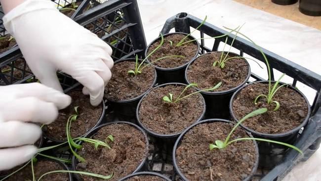 Семена гацании желательно высевать в период с середины марта до середины апреля