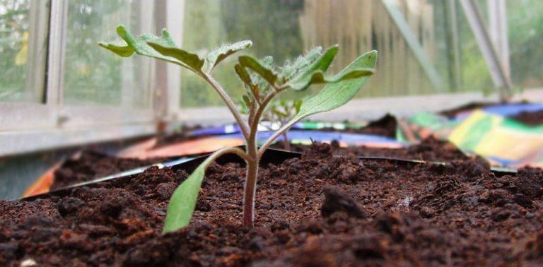Планируя пересадку помидоров, нужно определить время высевания семян с учетом их постоянного места произрастания