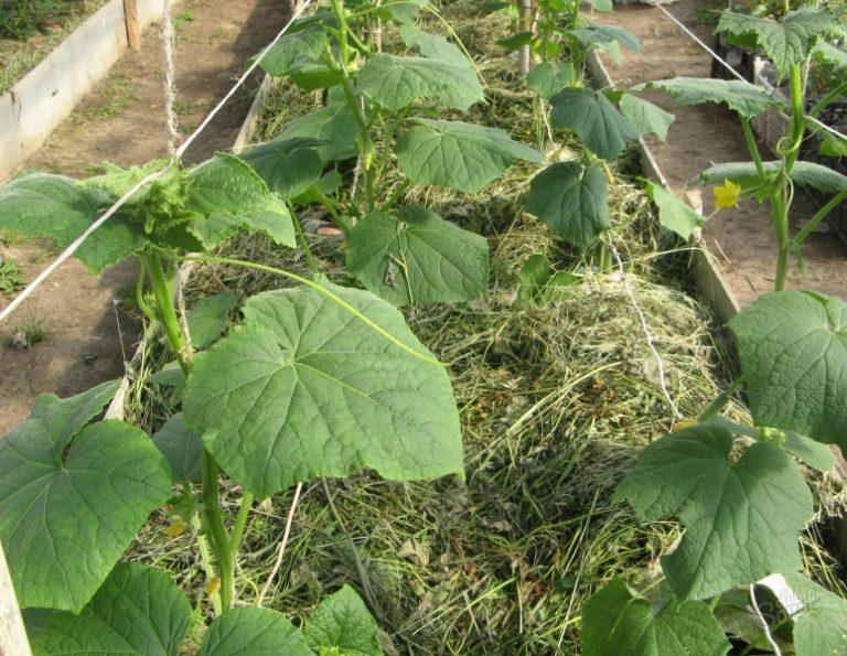 Лучший обогрев почвы в теплице — использование биологически или химически активных веществ в грунте