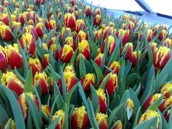 Особенности выращивания тюльпанов в домашних условиях