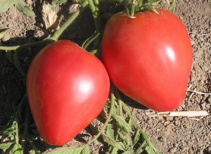 При правильной агротехнике урожай Бычьего сердца удивляет большим размером плодов
