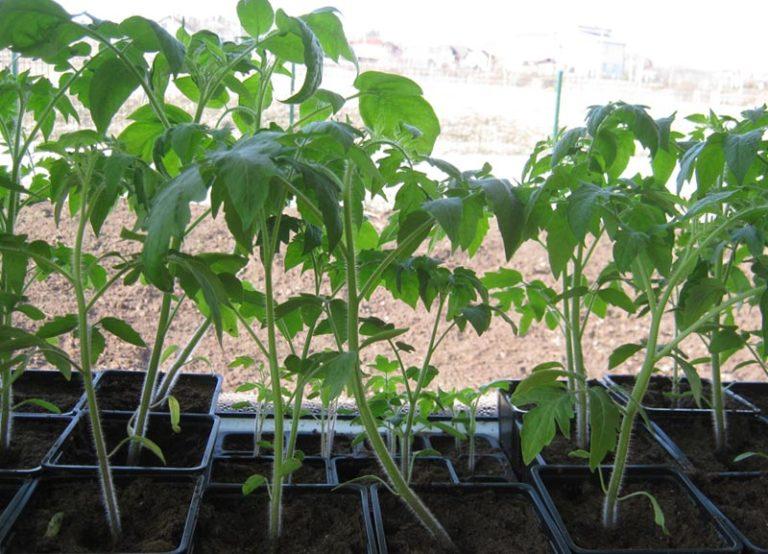 Высокая температура ускоряет рост рассады помидоров, что совсем нежелательно до их высадки в грунт