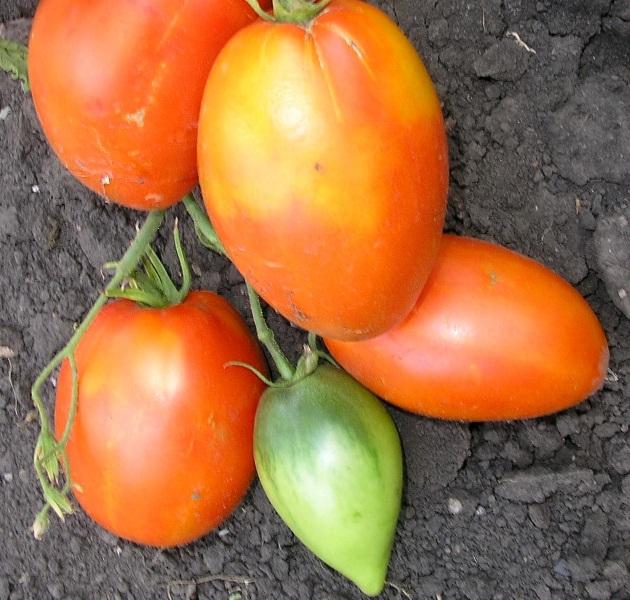 Специалистами сорт томата Кенигсберг принят как самостоятельный, притом сочетающий в себе только положительные свойства гибридов