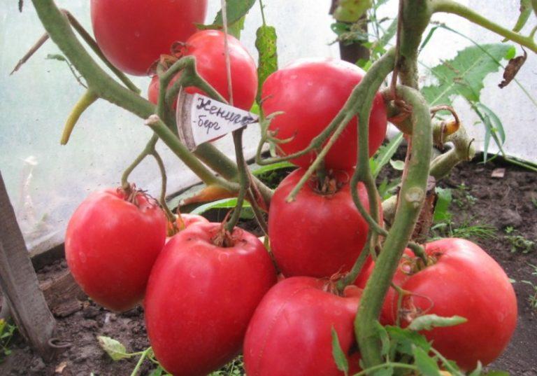 Кенигсберг прекрасно развивается в открытом грунте, в тепличных условиях кусты способны плодоносить продолжительное время