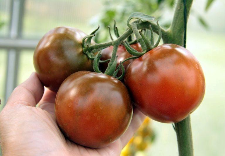 Черноплодные сорта помидоров выглядят поистине диковинно, но несмотря на свою внешность их вкусовые качества находятся на достаточно высоком уровне