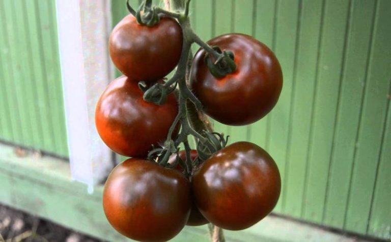 Сегодня сорт помидор кумато известен всему миру