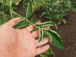 В знойные дни, когда подолгу дует сухой ветер, листья томатов скручиваются внутрь