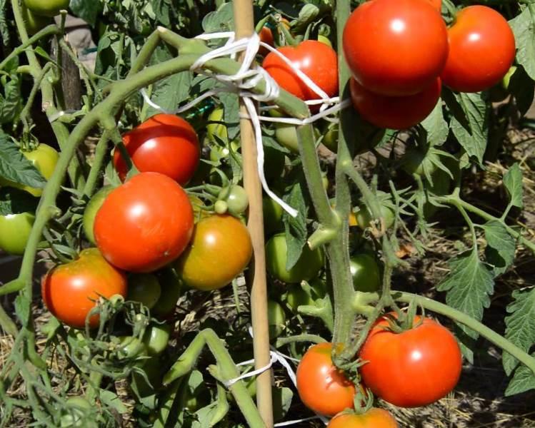 Растение относится к детерминантным сортам, т. е. его рост ограничен