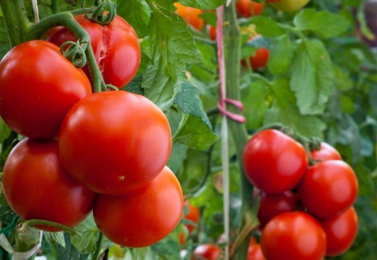 Помидоры вырастают небольших размеров, что делает их удобными как для консервации, так и для употребления в пищу в свежем виде