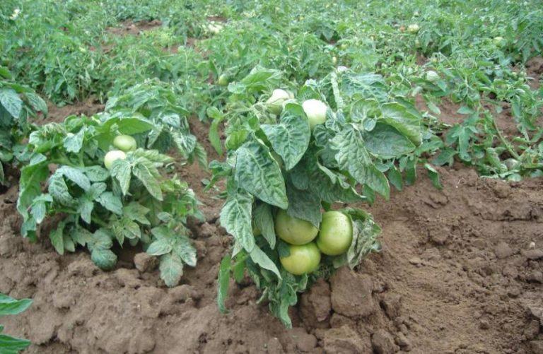 В настоящее время трудами селекционеров всего мира разработано немало томатных сортов, которые не нужно пасынковать