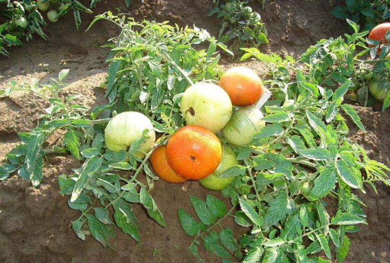 Сорт Невский раннеспелый, первые зрелые помидоры появляются на 60-65 день после всходов семян