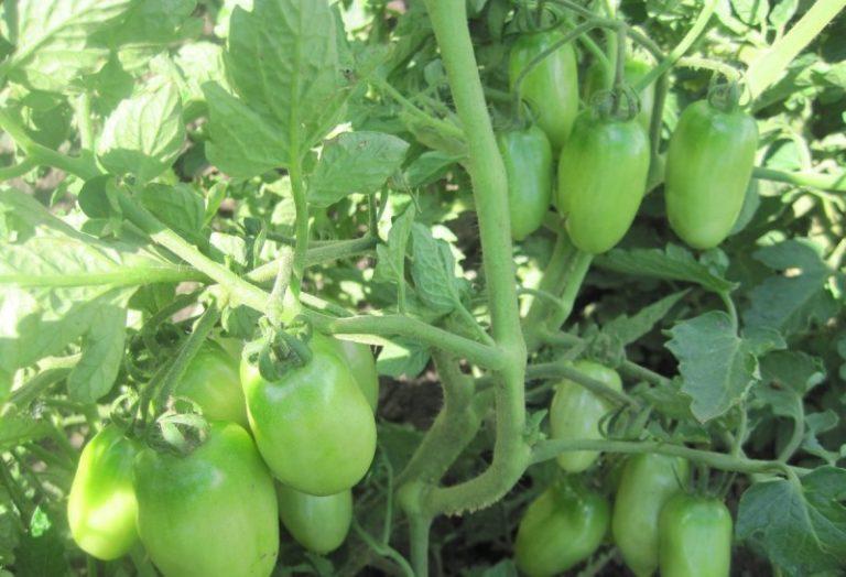 Появления первых товарных овощей следует ожидать через 95-100 суток, после прорастания семян