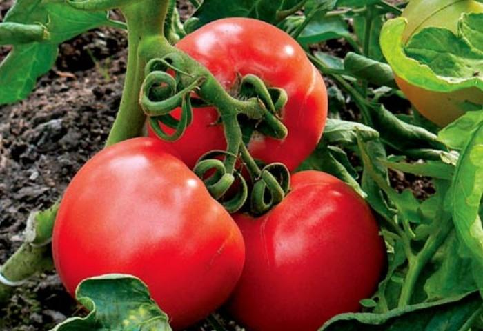 Это растение устойчиво не только к фитофторозу, но и не поддается вершинной гнили плодов