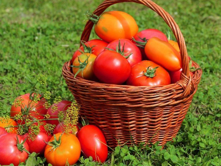 Сбор овощей необходимо проводить каждый день, это не только обеспечит ежедневное наличие на столе свежих помидоров, но и позволит быстрее доспеть другим помидорам на кусте
