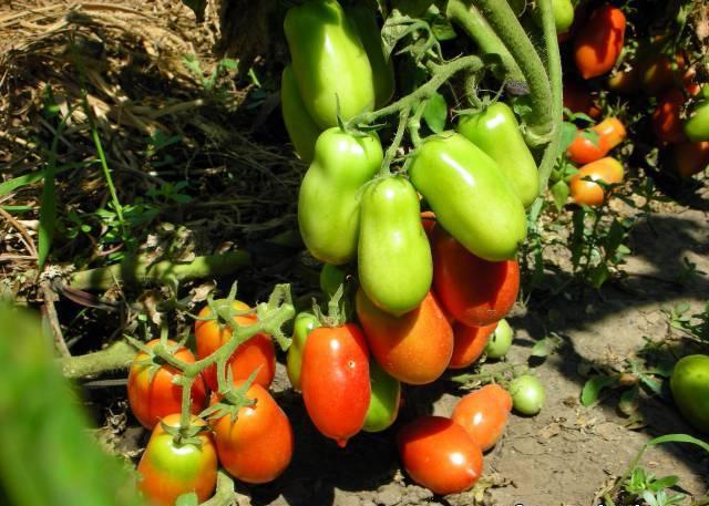 Густая посадка на качестве и количестве урожая никак не отражается
