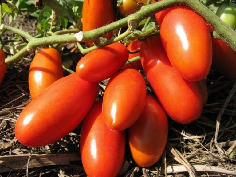 Первые помидоры созревают уже на 115-130 день после первых всходов