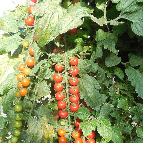 На выставке был презентован этот сорт помидоров с длинной веткой, которая была сплошь усеяна маленькими плодами черри