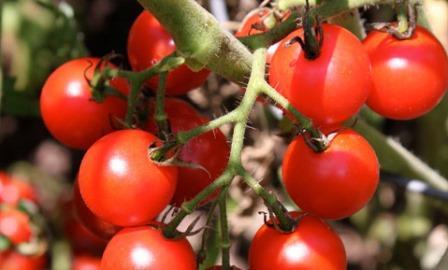 Для выращивания в теплице лучше выбрать гибридные сорта томатов