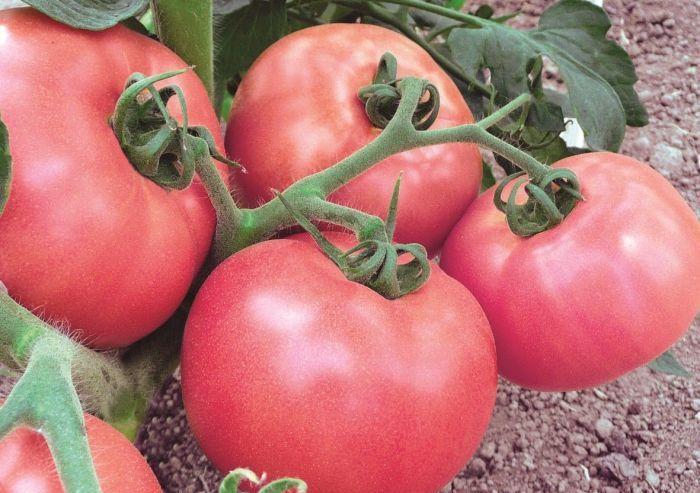 Счастье. Позволят повысить урожай за счет высокого роста. Плоды крупные, красного цвета, ароматные. Они предназначены для больших парников