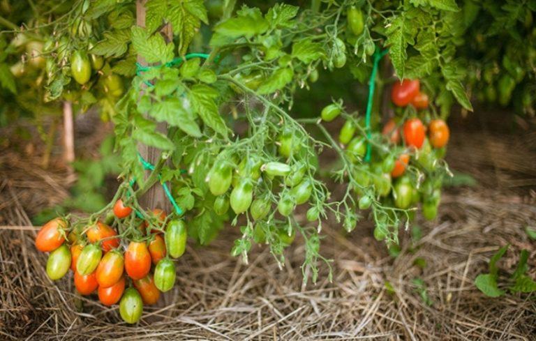 При выборе томатов для открытого грунта обязательно учитывается размер растений. Большое преимущество низкорослых томатов - компактность размещения