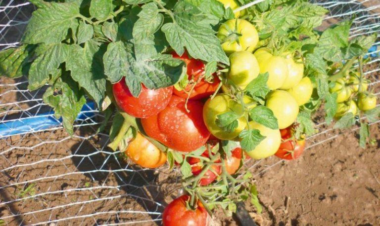 Низкорослые сорта томатов - отличный выбор для начинающих огородников, не успевших обзавестись теплицей