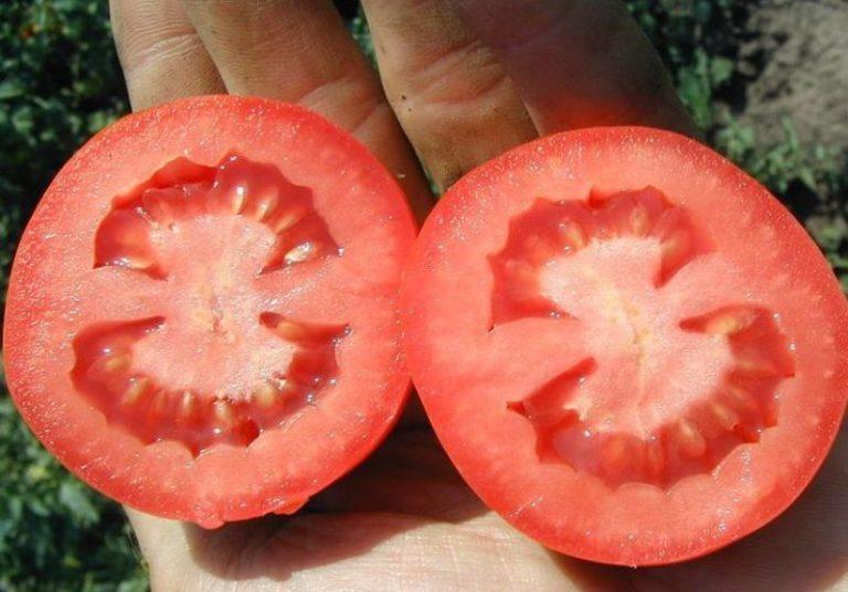 Период формирования плодов продолжается практически все лето. Томаты собирают как в технологической, так и в физической фазе спелости