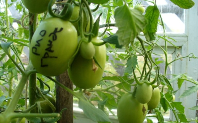 Выращивание этих томатов возможно как открытым, так и тепличным способом