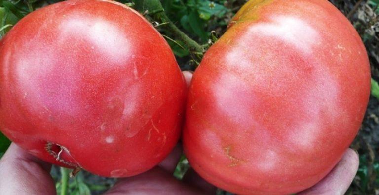 Жизнь гиганта зародилась с начала XXI века, вывели помидор российские селекционеры
