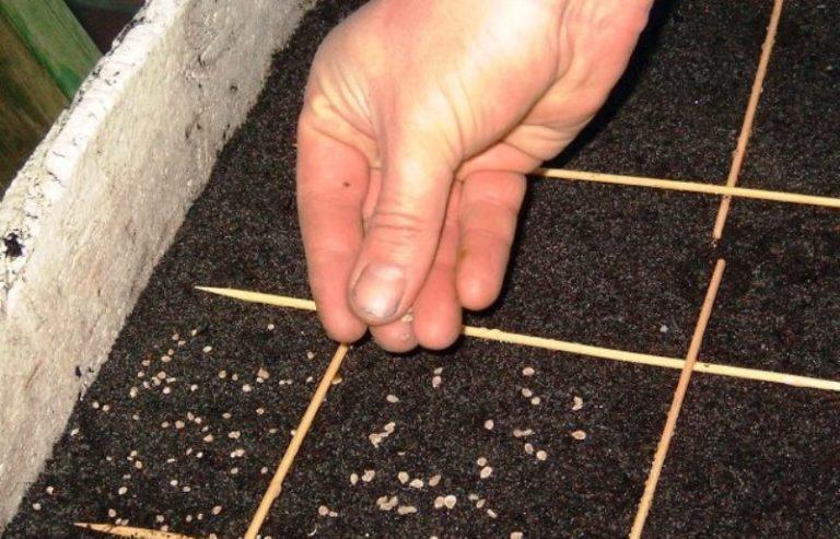 Томаты сорта Столыпин раннеспелые, от посева семян до появления первых плодов проходит от 95 до 100 суток