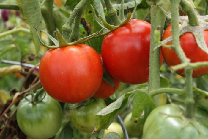 Урожай томата Взрыв, судя по описанию и отзывам, можно ожидать через 90-110 дней