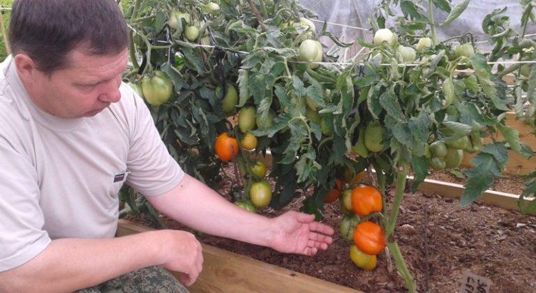 Этот овощ имеет яркий оранжевый цвет, сердцевидную форму и неповторимые вкусовые качества