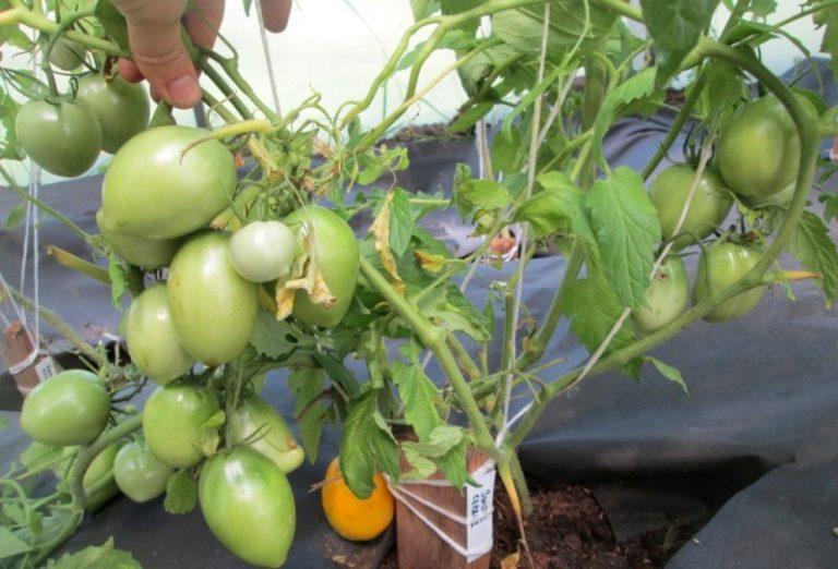 Выращивать данный сорт помидоров можно в открытом грунте в любых регионах России кроме северных районов. При этом детерминантные кусты прекрасно чувствуют себя в тепличных условиях
