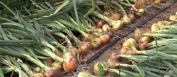 Если грядки с этой огородной культурой находятся под открытым небом, то процесс созревания искусственно ускоряют, подрывая корни растения, закрывая ему путь к получению питательных веществ из почвы