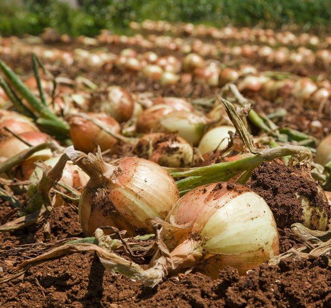 Выращивание лука предполагает, что луковицы при уборке нужно подкапывать, чтобы не повредить корневое донце