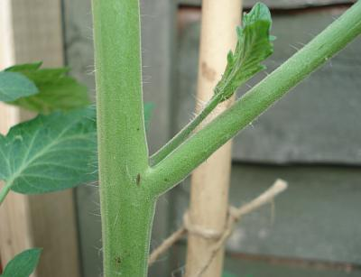 Большинство специалистов овощеводства рекомендует, выращивая помидоры, удалить листья с них вовремя