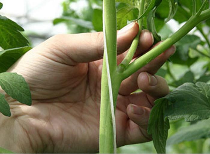 Пасынкование осуществляется в тот период, когда растение уже хорошо подросло и окрепло