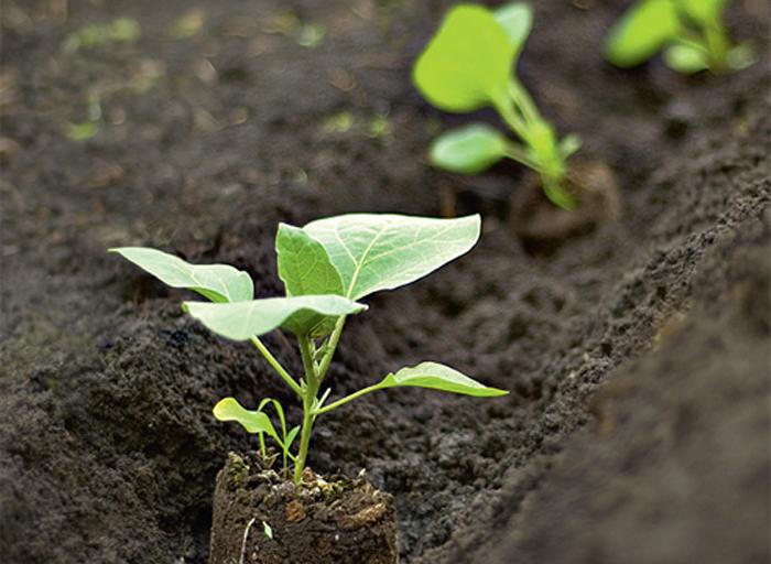 Перед высадкой рассады нужно перекопать землю, удобрить ее перегноем, золой