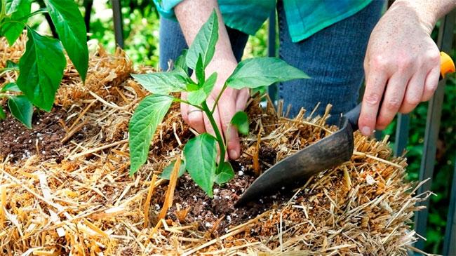 Далеко не всякий огородник может найти компоненты для приготовления природного удобрения, поэтому чаще используют минеральные вещества, приобретенные в садовых магазинах